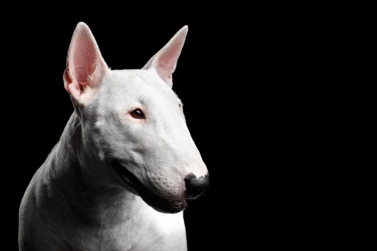 Bull Terrier - IE