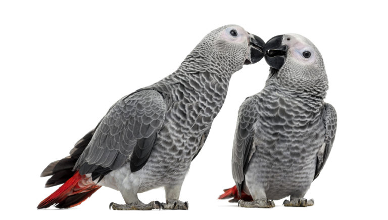 Two African Grey Parrot- keep in pairs