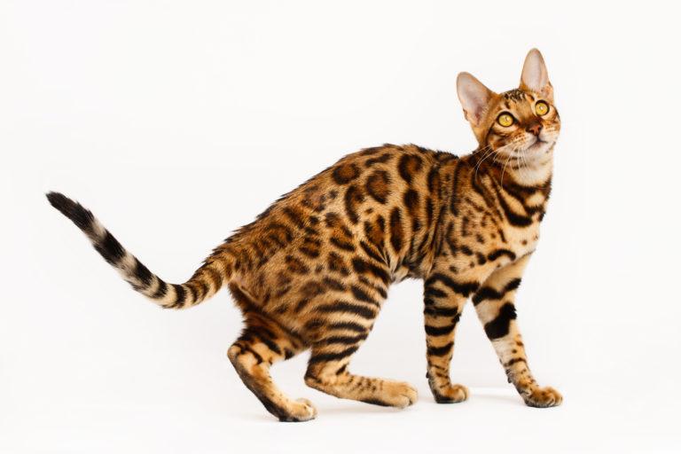 Bengal Cat - IE