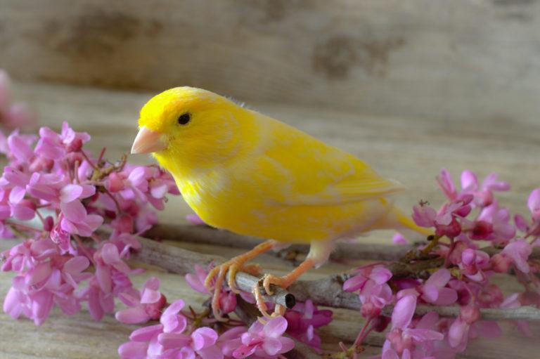 Canary bird nutrition - canary food