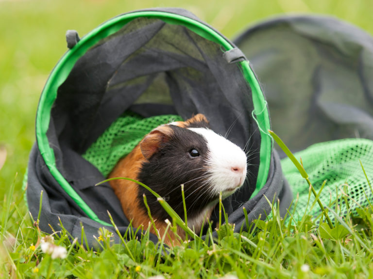 Guinea pig in tunnel