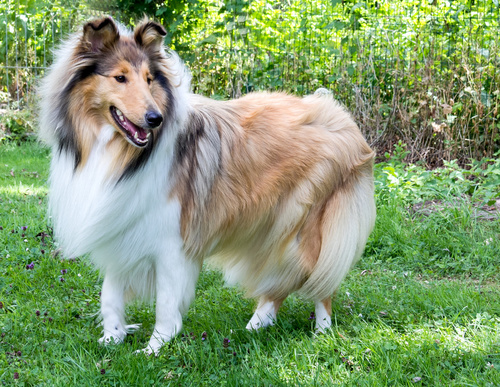 rough collie on the grass