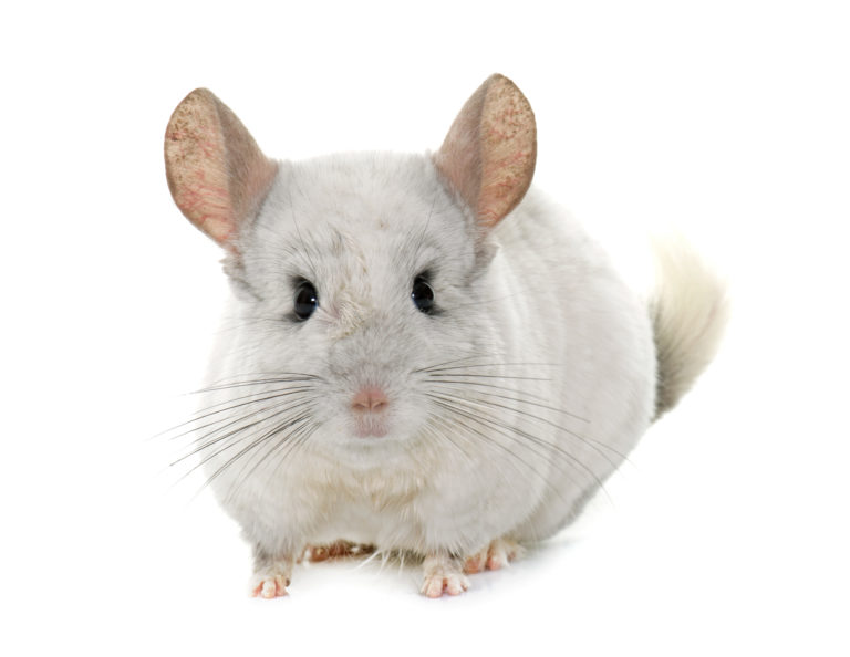 Chinchilla Small Pet