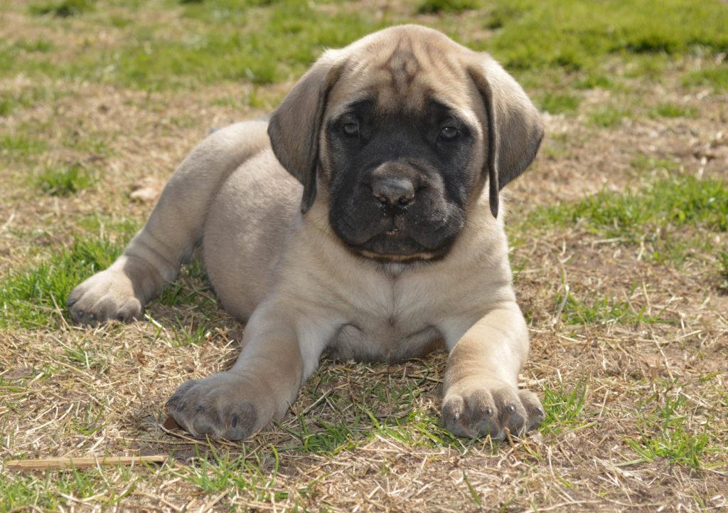 Purebred English Mastiff Puppy