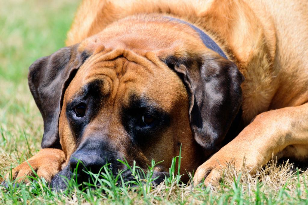English Mastiff in Grass