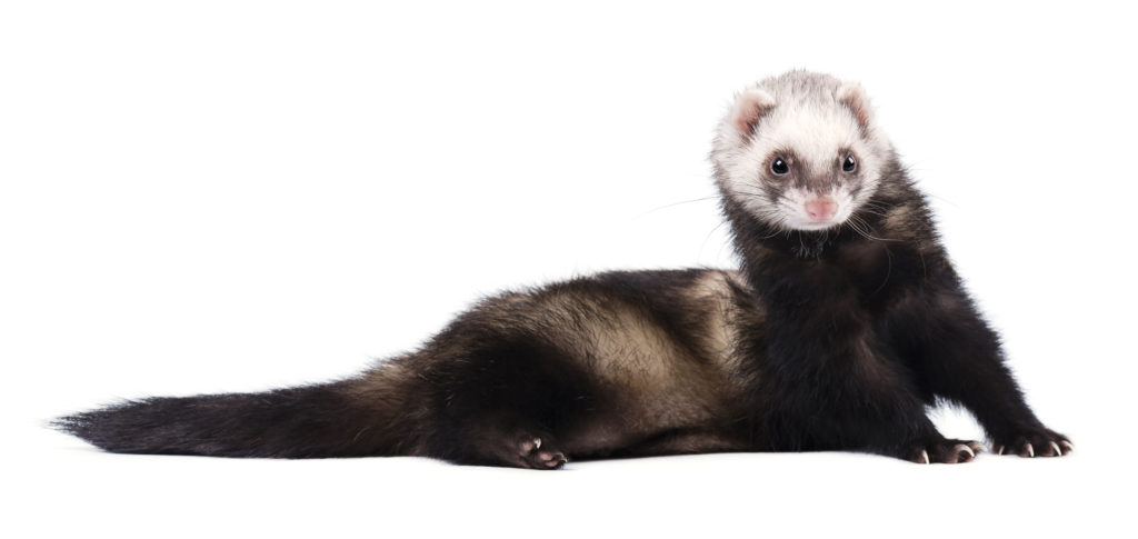Ferret Breed