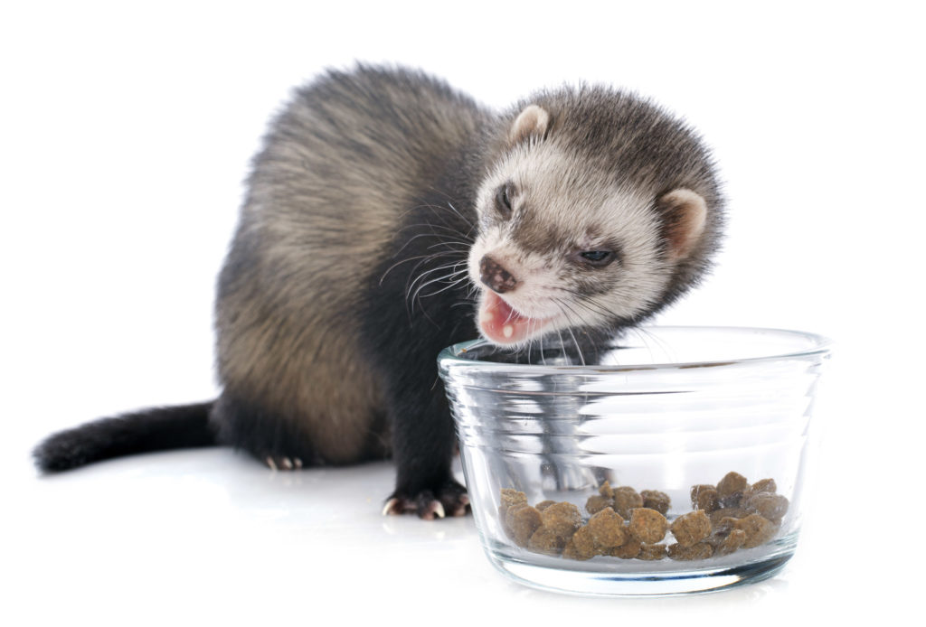Ferret Eating Food