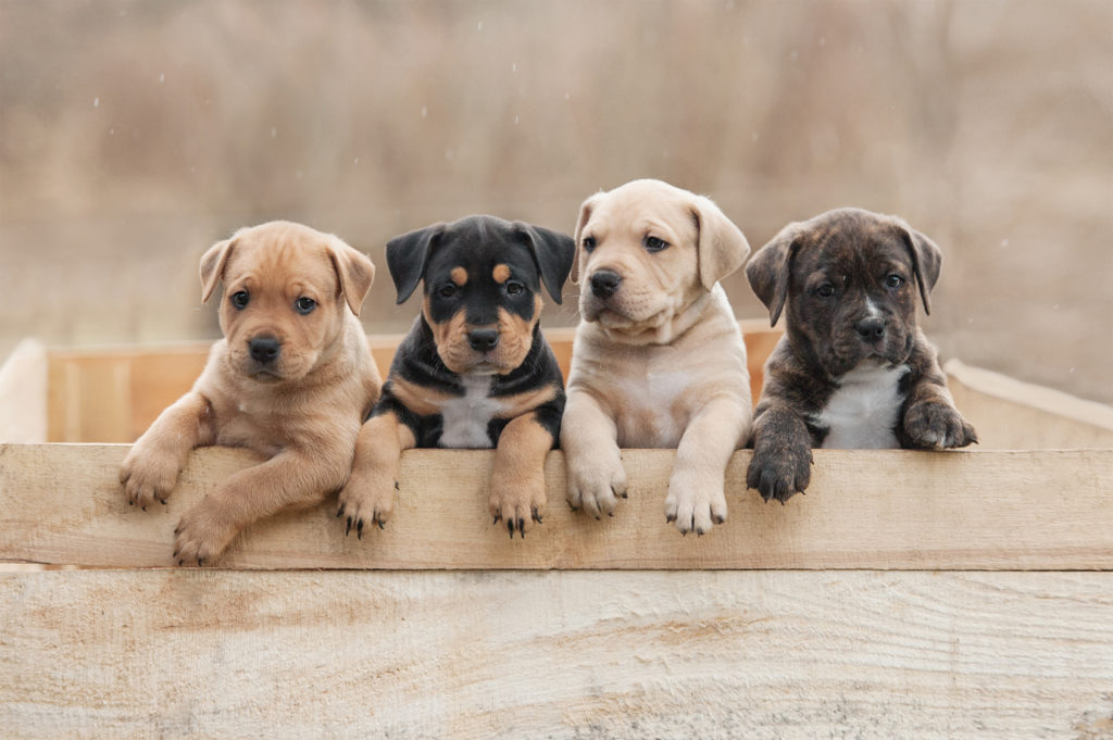 Four-American-Stafforshire-Terrier-Puppies
