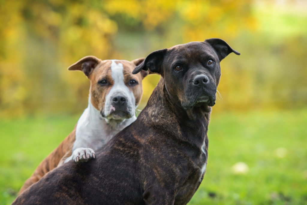ATTACHMENT DETAILS Image filter Two-Friends-American-Staffordshire-Terrier