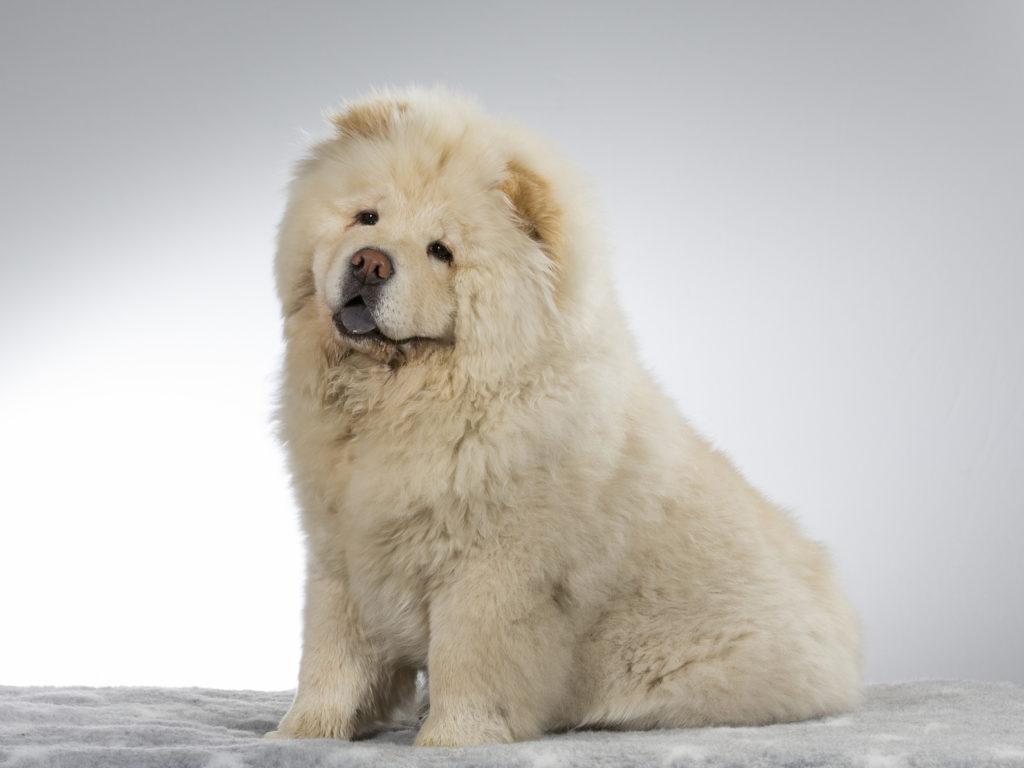 White Chow Chow Dog