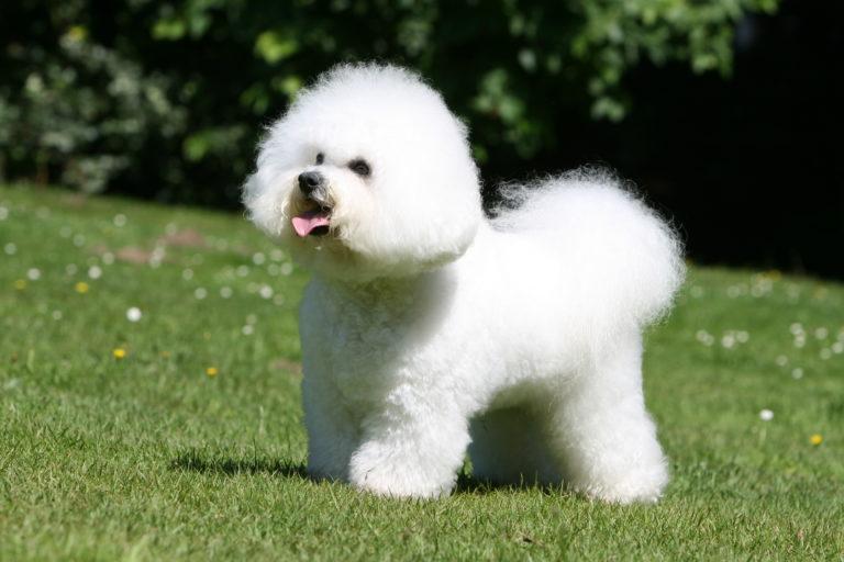 Bichon Frise dog breed adult