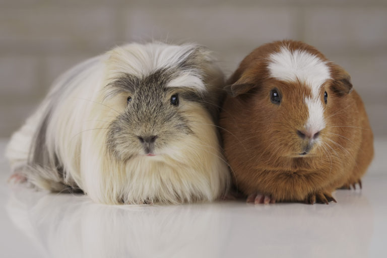Guinea Pigs Breed