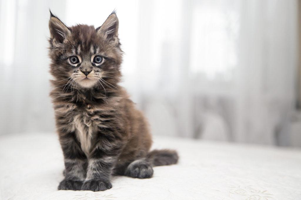 maine coon cute kitten