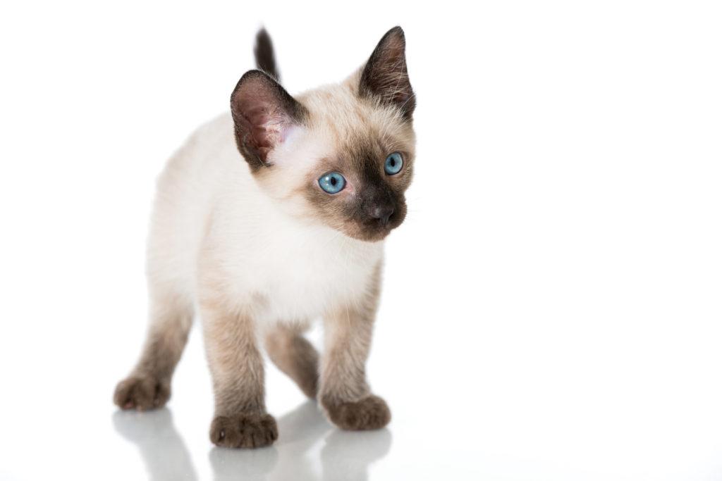 siamese kittens ireland