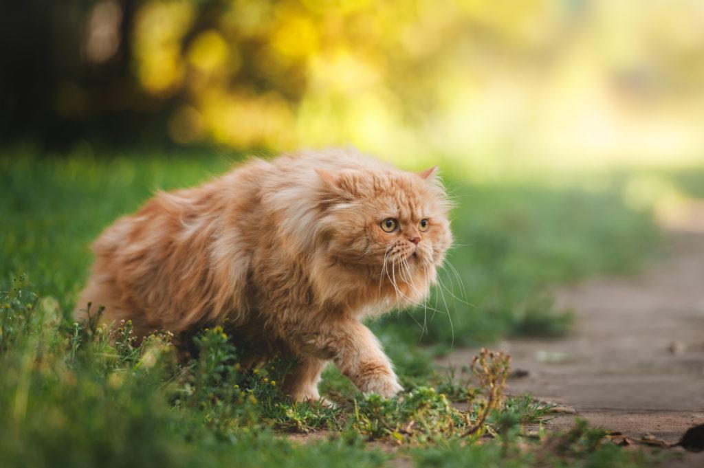 Persian Cat Grass