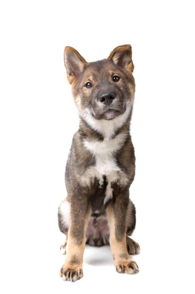 Shikoku puppy