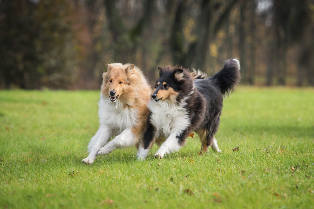 Two rough collie dogs playing and running in autumn