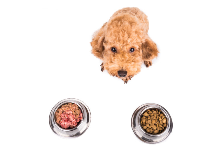 Cutest poodle dog choosing between dry dog food and raw dog food