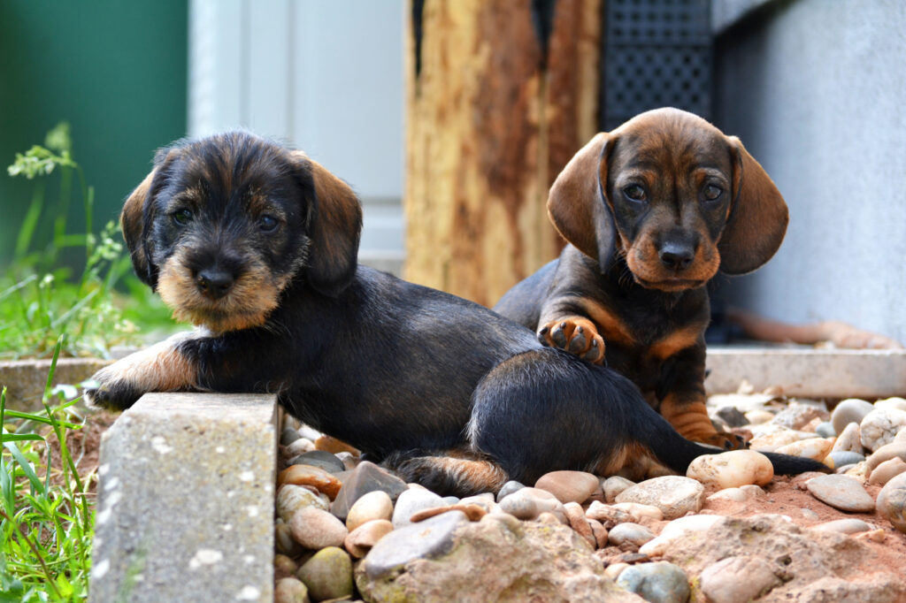 Dachshund puppy with mother dog