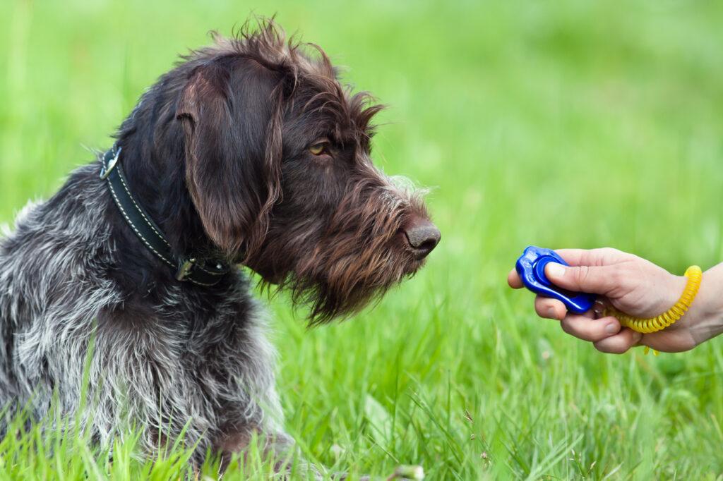 hunting dog clicker training