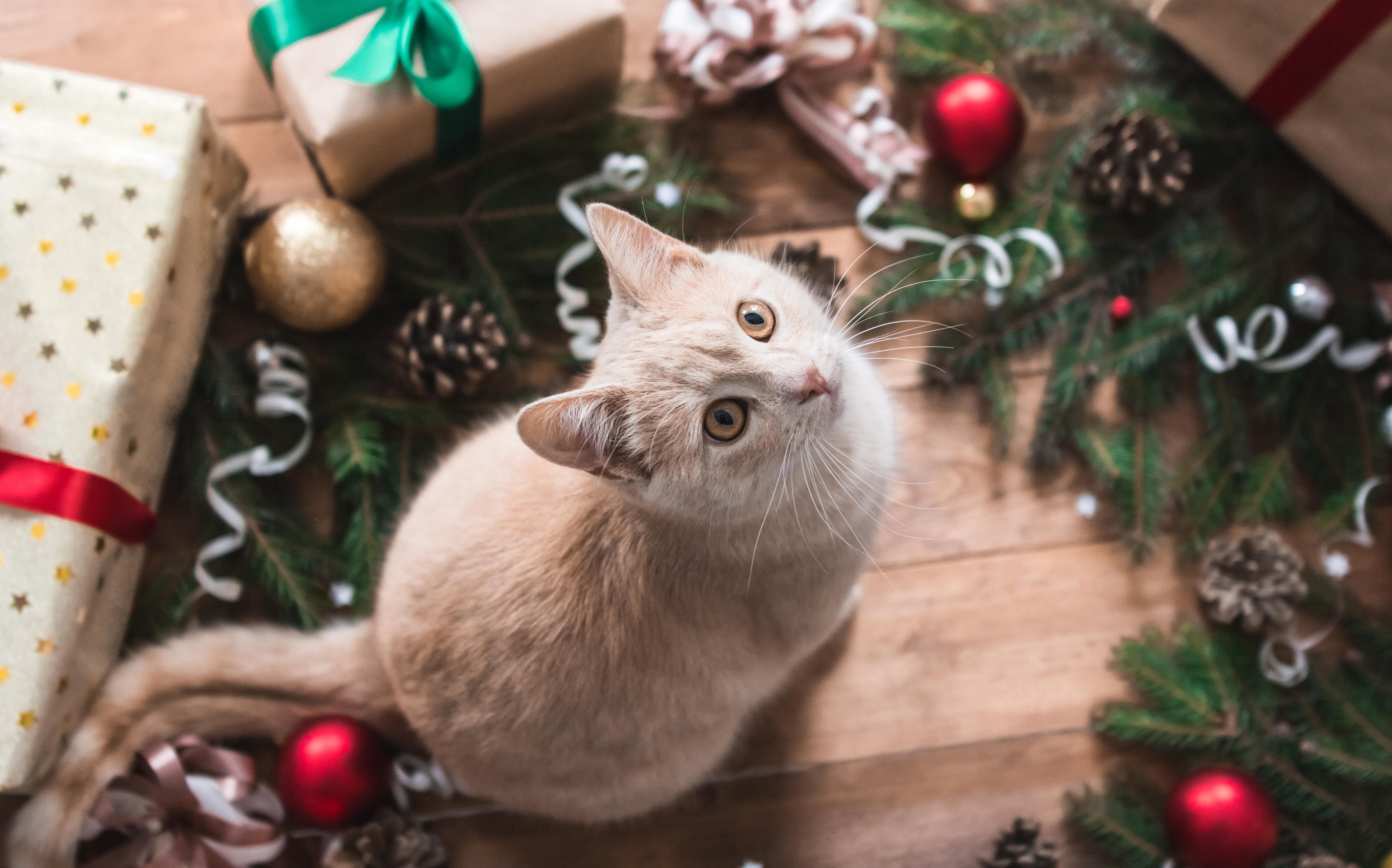 Cat as Christmas Present
