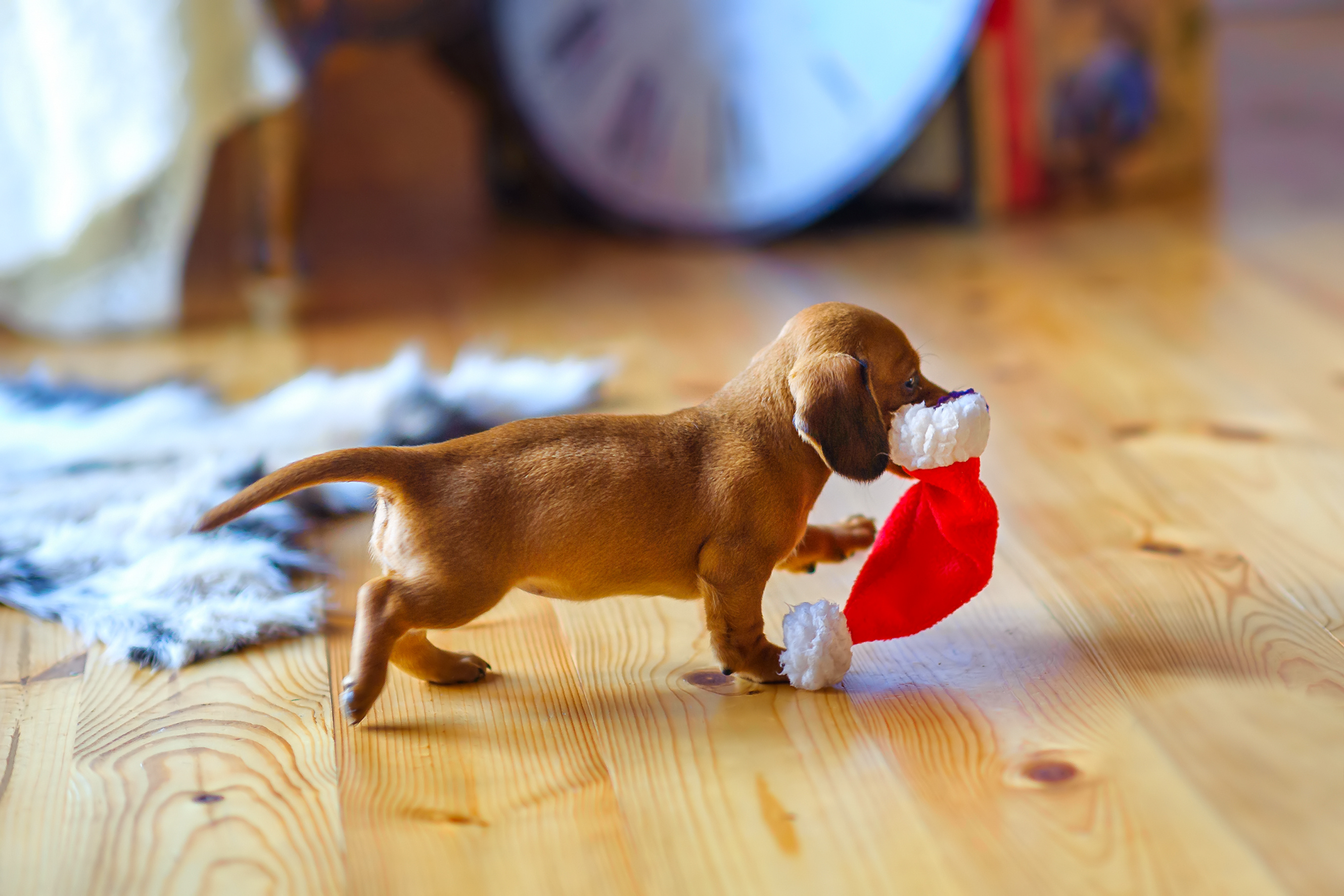 Puppy as a christmas present