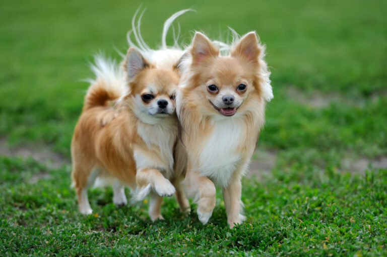 Two Longhair Chihuahua dogs