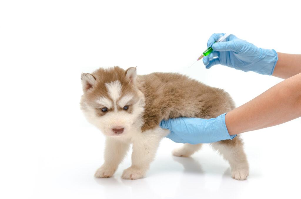 Vaccine puppy