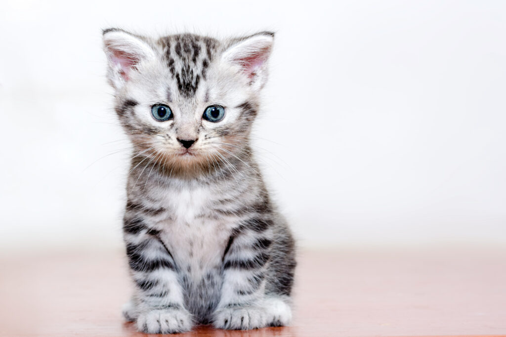 Grey American Shorthair Kitten
