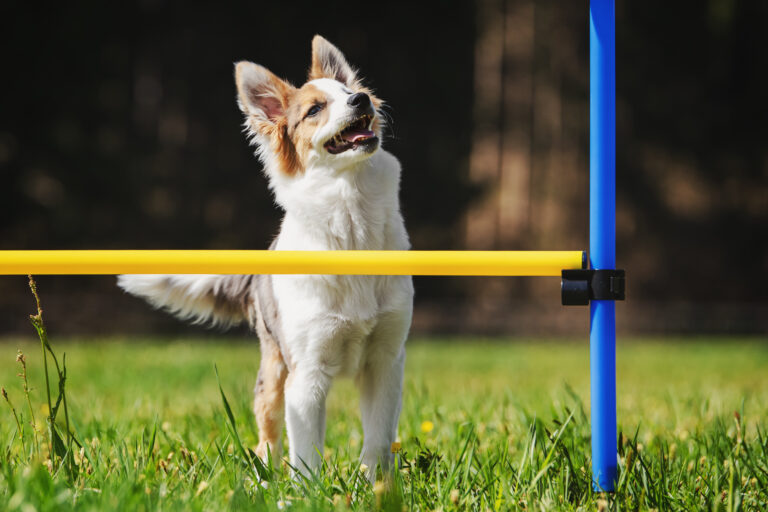 Agility with small dogs