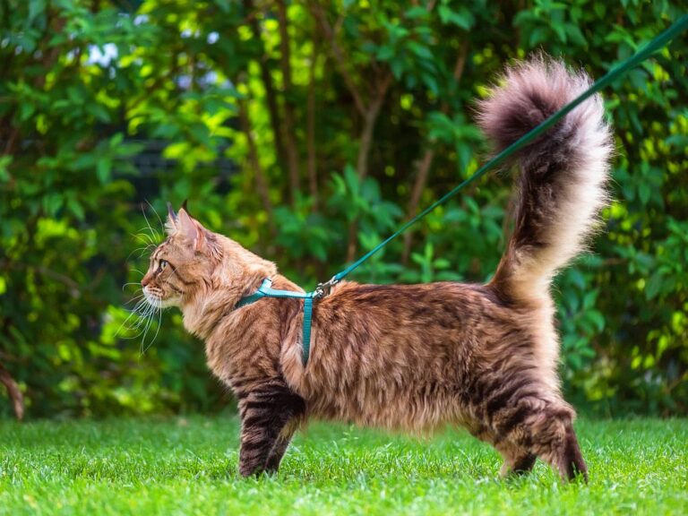 Maine Coon on a lead