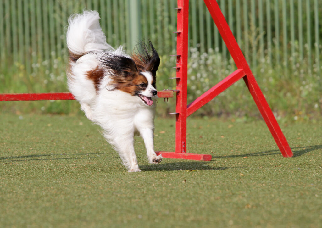 small breed dog agility
