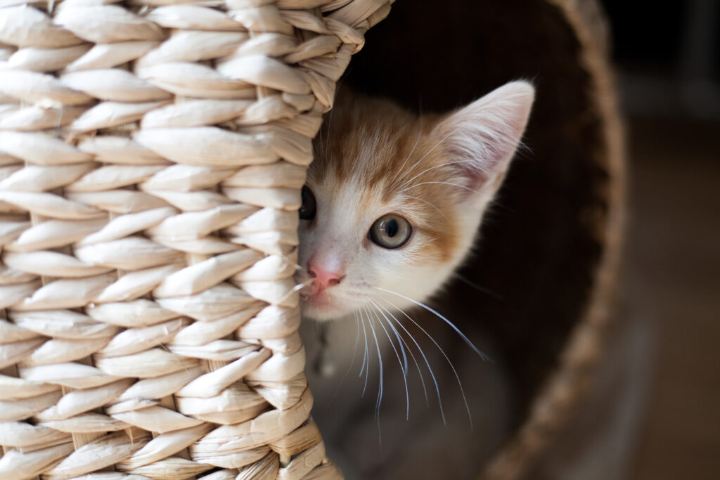 Cat hiding in a basket miaowing