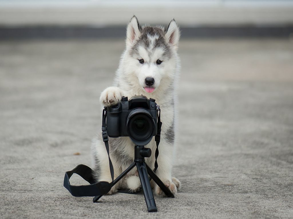 husky photographer