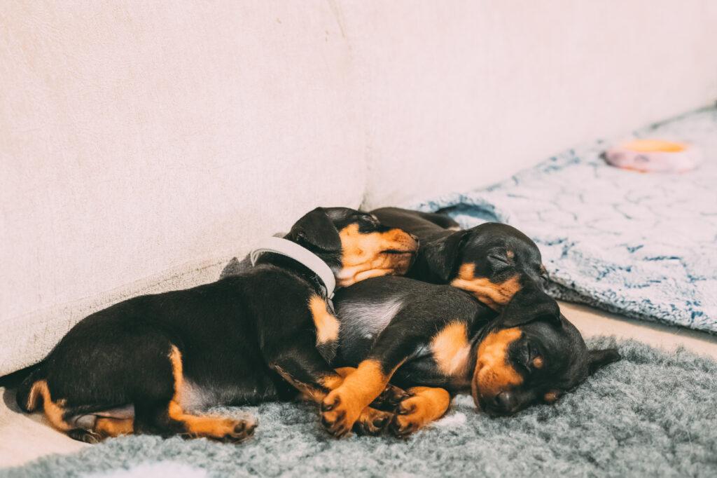 mini pinscher puppies