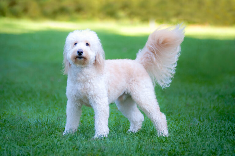 goldendoodle on lawn