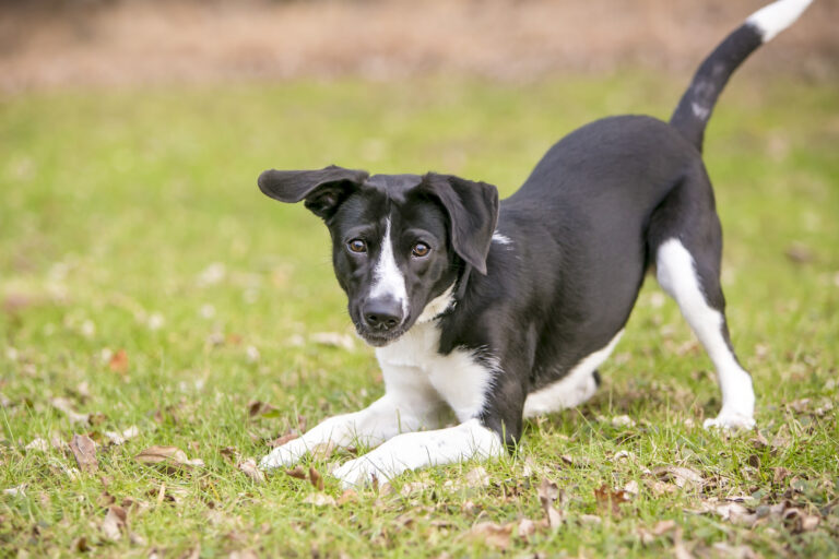 purebreed or mixed breed dog