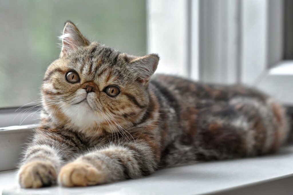Brown exotic Shorthair kitten lying at the window and looks up. Toddler animals and Persian cats concept.