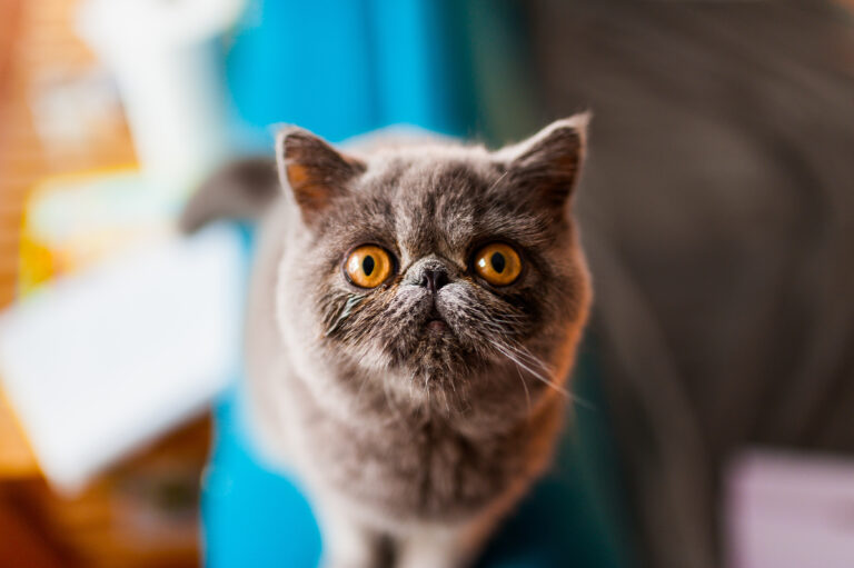 grey exotic shorthair