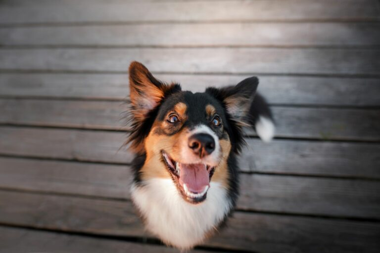 happy dog showing its teeth