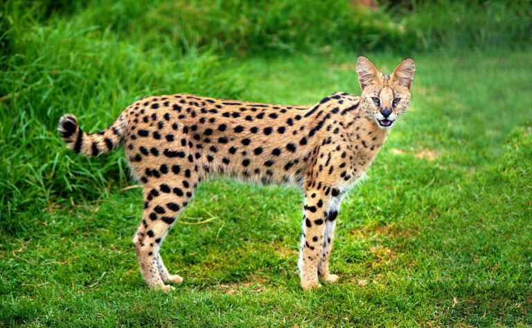 Serval in the grass