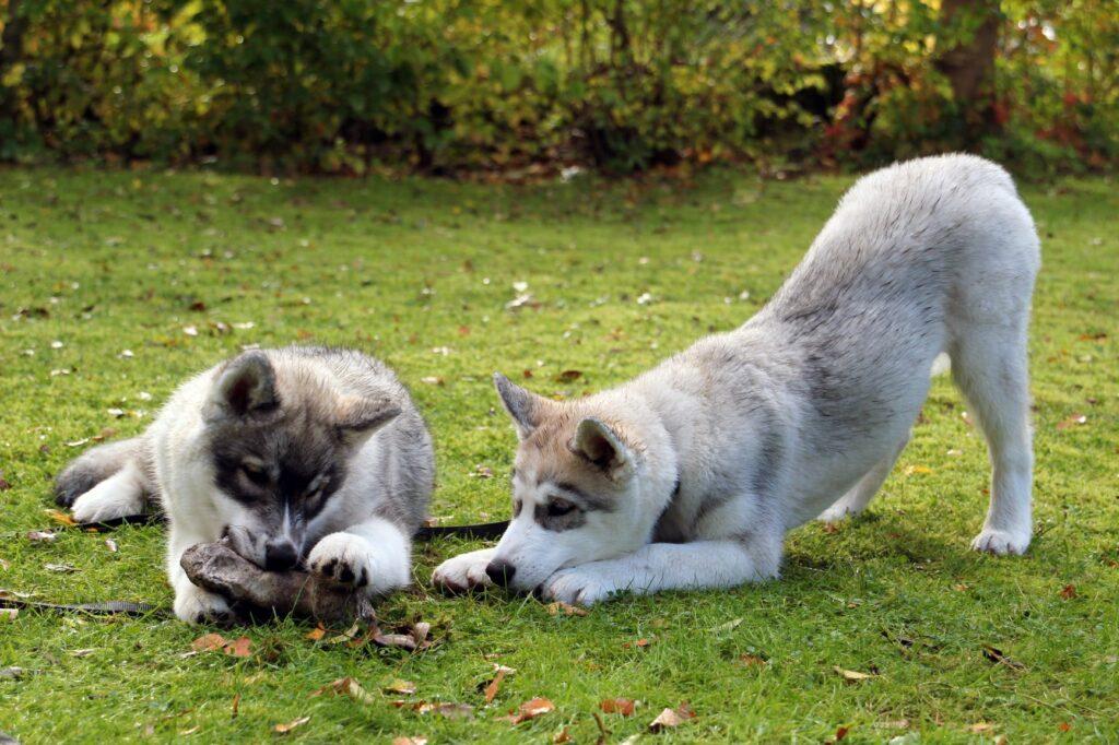 Teething puppies