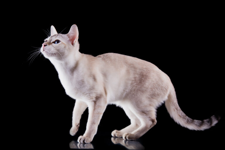 White Tonkinese Cat